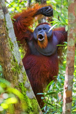 Indonesia, Central Kalimatan, Tanjung Puting National Park. A male Orangutan calling.