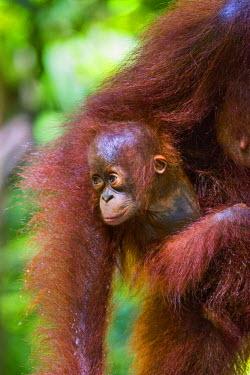 IDA0435 Indonesia, Central Kalimatan, Tanjung Puting National Park. A baby Bornean Orangutan under its mother�s arm.