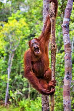 IDA0438 Indonesia, Central Kalimatan, Tanjung Puting National Park. A female Bornean Orangutan yawning.