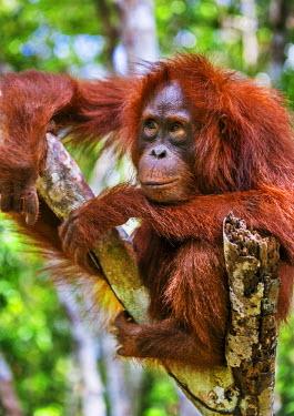 IDA0439 Indonesia, Central Kalimatan, Tanjung Puting National Park. A young Bornean Orangutan resting in a tree.