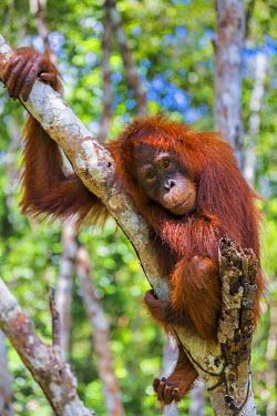 IDA0440 Indonesia, Central Kalimatan, Tanjung Puting National Park. A young Bornean Orangutan resting in a tree.