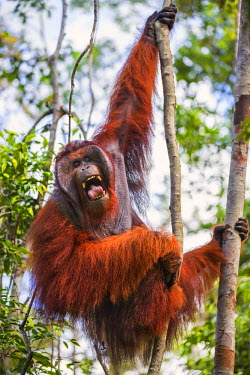IDA0443 Indonesia, Central Kalimatan, Tanjung Puting National Park. A large male Bornean Orangutan with distinctive cheek pads yawns while hanging in a tree.