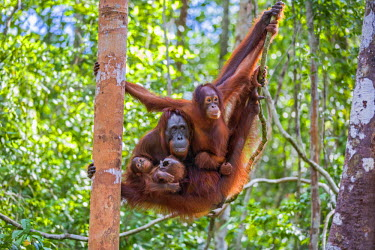IDA0446 Indonesia, Central Kalimatan, Tanjung Puting National Park. A female Bornean Orangutan and her two offspring hanging in a tree.