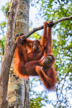 Indonesia, Central Kalimatan, Tanjung Puting National Park. A female Bornean Orangutan and her sub-adult offspring hanging in a tree.