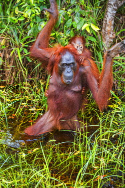 IDA0451 Indonesia, Central Kalimatan, Tanjung Puting National Park. A Bornean Orangutan carries her baby on her back while wading across a stream.