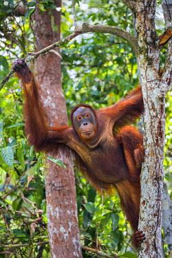 IDA0453 Indonesia, Central Kalimatan, Tanjung Puting National Park. A female Bornean Orangutan climbing a tree.