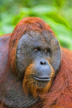 IDA0459 Indonesia, Central Kalimatan, Tanjung Puting National Park. A male Bornean Orangutan with distinctive cheek pads.