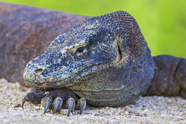 IDA0481 Indonesia, Loh Buaya, Rinca Island. A Komodo Dragon resting its head on a foot with large sharp claws.  The saliva of these giant lizards is poisonous.