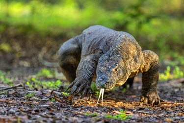 IDA0485 Indonesia, Loh Buaya, Rinca Island. A large Komodo Dragon displays its deeply forked tongue as it walks. The tongue can detect carrion several kilometres away with the help of a favourable wind.