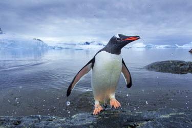 AN02PSO0197 Antarctica, Cuverville Island, Gentoo Penguin (Pygoscelis papua) leaping from ocean onto rocky shoreline near rookery.