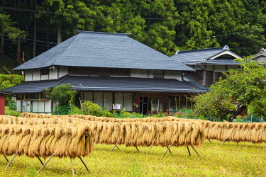 AS15BJY0030 Japan, Nara Prefecture, Soni Plateau. Harvested rice drying