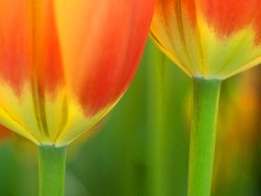EU20JEG0011 The Netherlands, Lisse, Keukenhof Gardens. Close-up of tulip.