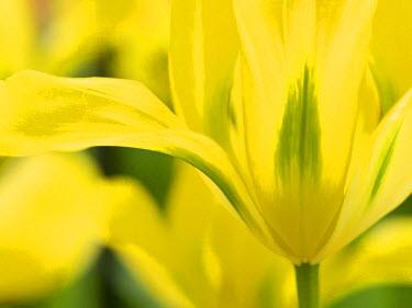EU20JEG0026 The Netherlands, Lisse, Keukenhof Gardens. Close-up of tulip.