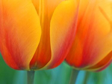 EU20JEG0059 The Netherlands, Lisse, Keukenhof Gardens. Close-up of tulips.