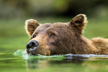 US02PSO1535 USA, Alaska, Katmai National Park, Coastal Brown Bear (Ursus arctos) swims across salmon spawning stream by Kuliak Bay.