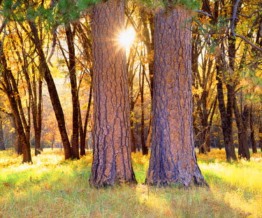 US05BJA1311 USA, California, Yosemite National Park. Sunset through the forest