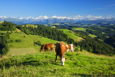 CH03768 Grazing cows, Emmental Valley and Swiss alps in the background, Berner Oberland, Switzerland