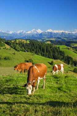 CH03769 Grazing cows, Emmental Valley and Swiss alps in the background, Berner Oberland, Switzerland