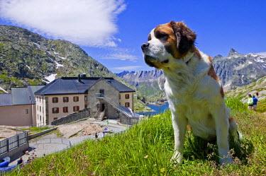 HMS1388967 Switzerland, canton of Valais, Mont Blanc, Col, Grand Lake St. Bernard dog