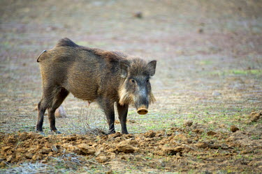 IND7609 India, Rajasthan, Ranthambore. A wild boar foraging for food.