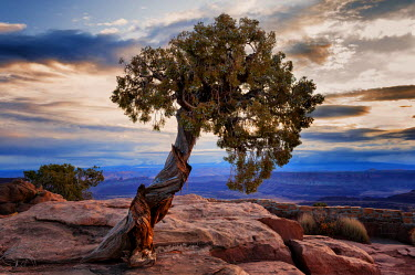 USA9342AW U.S.A., Utah, Dead Horse Point State Park, Juniper Tree