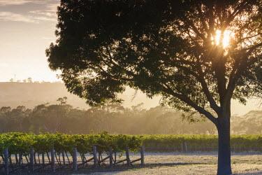 AS02139 Australia, South Australia, Barossa Valley, Tanunda, vineyards, dawn