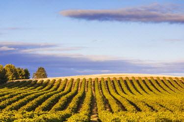 AS02115 Australia, South Australia, Barossa Valley, Lyndoch, vineyards, susnet