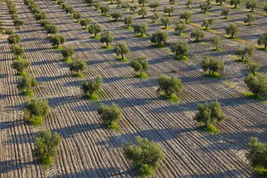HMS0391387 Spain, Madrid region, Villaconejos, olive groves (aerial view)