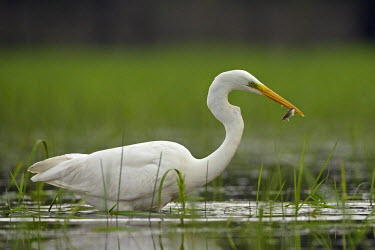 HMS0547501 Spain, Catalonia, Natural Park of the Ebro Delta, great egret (Egretta alba) catches a fish