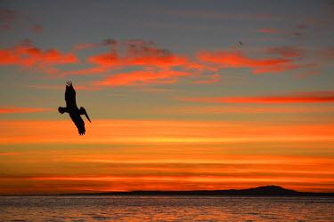MEX1459AW Pelican at sunrise, Sea of Cortez, La Ventanaz, Baja California, Mexico