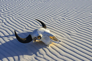USA9391AW Bison Skull in sand desert, White Sands, National Monument, New Mexico, USA