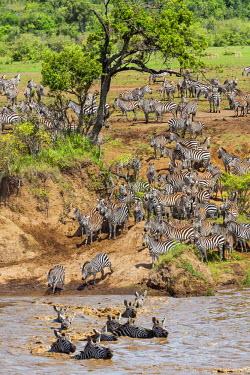 KEN8873 Kenya, Narok County, Masai Mara National Reserve. Zebras swim across the Mara River.