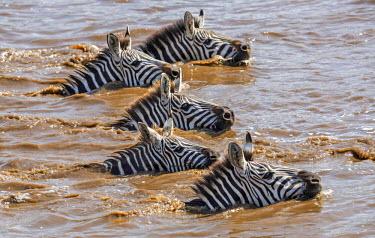 KEN8876 Kenya, Narok County, Masai Mara National Reserve.  Zebras swim across the Mara River.