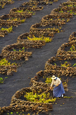 HMS0202982 Spain, Canary Islands, Lanzarote Island, Biosphere reserve, La Geria, peasant working in the vineyards growing on volcanic ash surrounded with law walls
