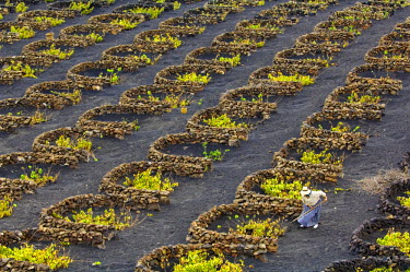 HMS0202983 Spain, Canary Islands, Lanzarote Island, Biosphere reserve, La Geria, peasant working in the vineyards growing on volcanic ash surrounded with law walls