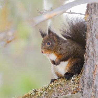 FVG008428 The squirrel, the elves of the woods, Preone, Friuli-Venezia Giulia, Carnia, Italy