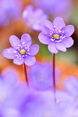 FVG008690 The bloom of epatica color the undergrowth and announces the arrival of spring, Cavazzo Carnico,  Friuli-Venezia Giulia, Carnia, Italy