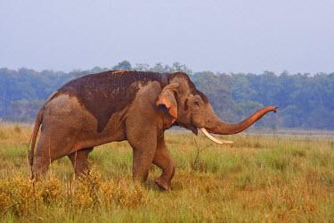 AS10JRA0806 Indian Asian Elephant, tusker, communicating, Corbett National Park, India.