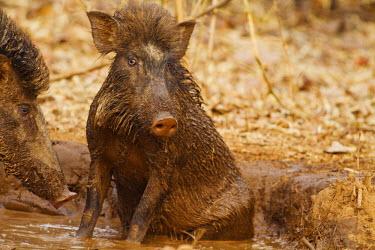 AS10JRA0683 Wild Boar, Tadoba Andheri Tiger Reserve (TATR), India.