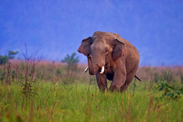 AS10JRA0722 Indian Asian Elephant, Tusker in the grassland, Corbett National Park, India.
