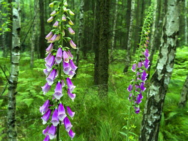 EU10MZW0605 Elbe Sandstone Mountains (Elbsandsteingebirge) in the National Park Saxon Switzerland (Saechsische Schweiz). Digitals Purpurea (foxglove, common foxglove, purple foxglove) in dense forest, Germany, Sa...