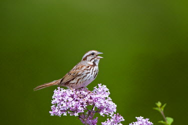 US14RDY1309 Song Sparrow (Melospiza melodia) singing on Dwarf Korean Lilac Bush (Syringa meyeri 'Palibin'), Marion, Illinois, USA.