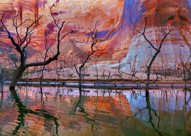 US45BJY0100 USA, Utah, Glen Canyon National Recreation Area. Drought reveals dead trees that are normally underwater.