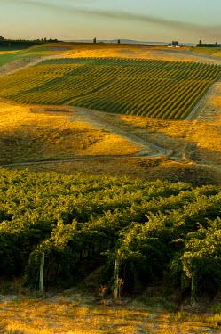 US48RDU1453 USA, Washington, Pasco. Morning light on a vineyard at harvest in eastern Washington.