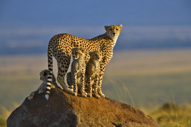 KEN8395AW Kenya, Masai Mara, Mara Conservancy, Narok County. A mother cheetah poised on a termite mound alert to prey early in morning, accompanied by her three 6 month old male cubs.