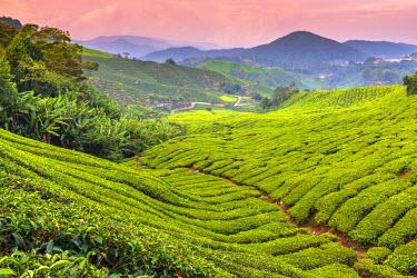 MY02171 Malaysia, Pahang, Cameron Highlands, Brinchang, Tea Plantation