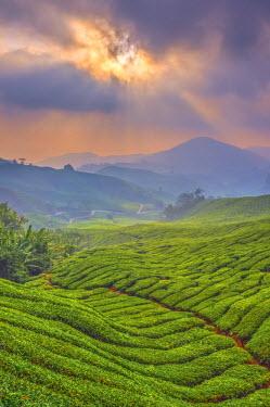 MY02173 Malaysia, Pahang, Cameron Highlands, Brinchang, Tea Plantation
