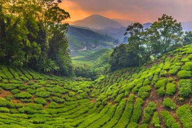 MY02182 Malaysia, Pahang, Cameron Highlands, Brinchang, Tea Plantation