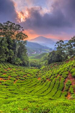 MY02183 Malaysia, Pahang, Cameron Highlands, Brinchang, Tea Plantation