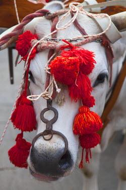 ITA3323AW Bull in procession of St Emygdius in Piazza Arringo, Ascoli Piceno, Le Marche, Italy